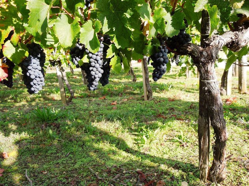 le Merlot mûrit sous le soleil de Bordeaux