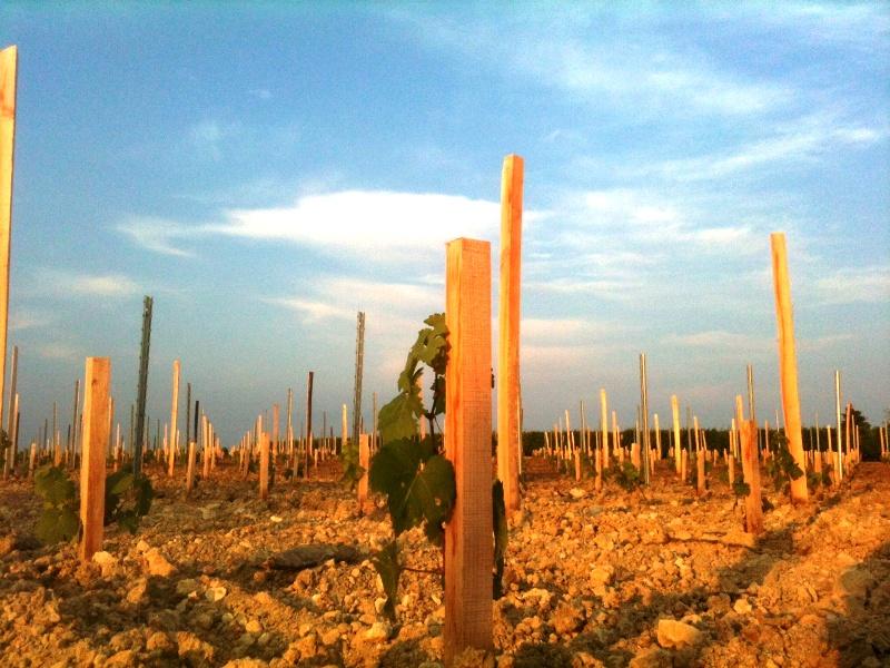 Jeunes plants de Merlot à Cars. Château Crusquet Sabourin (AOC Blaye Côtes de Bordeaux), mercredi 17 juillet au matin. Il est 7h30.