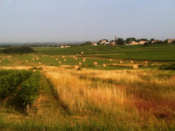 Des vignes sur les hauteurs, des bottes de foin dans les creux : avec trop d'humidité, le raisin mûrirait mal. Au loin, on aperçoit le Château Segonzac.