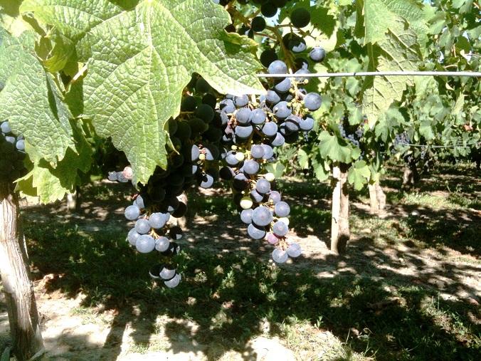 Le millerandage selon la définition du Guide Hachette des Vins :