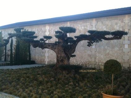 Pape bonsaï géant
